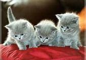 Puzzle en ligne les chaton
