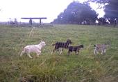 Puzzles chèvres bébé