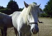 Puzzles un cheval blanc