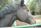 Puzzle beau chevaux