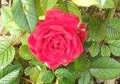 Jeux de puzzle : rose d'un jour