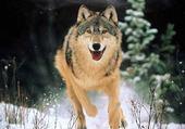 Jeux de puzzle : Loup