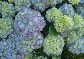 Jeux de puzzle : hortensias bleus