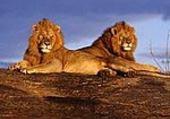 Puzzle gratuit lions II