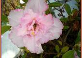 Jeux de puzzle : fleur d azalée