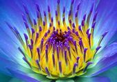 fleurde lotus