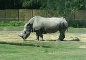 Puzzle gratuit rhino