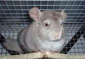 chinchilla beige