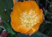 Puzzle Fleur de cactus