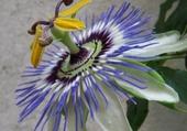 Puzzle fleur passion