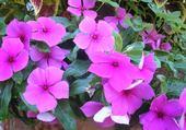 Puzzle gratuit fleurs à cimiez
