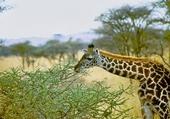 Puzzle Puzzle girafe