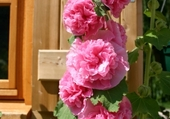 Puzzle roses trémières