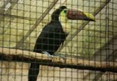 Puzzle le toucan