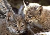 Puzzle bébé lynx