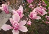 Puzzle fleur de magniolia
