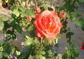 Puzzle rose abricot foncé