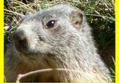 Jeux de puzzle : marmote