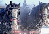Puzzle gratuit chevaux dans la neige