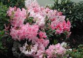 Puzzle buisson de fleurs