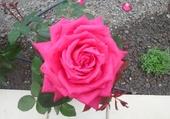 Puzzle en ligne une rose de mon jardin