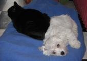 Puzzle chat et bichon