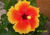 Puzzle hibiscus de mon jardin