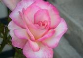 Puzzles Rose