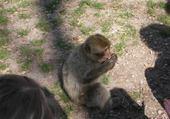 Puzzle en ligne Un singe