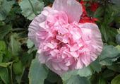 Puzzle fleur de pavot