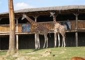 Puzzle gratuit Girafes