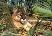 puma ou cougar ou lion des montag