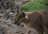 Puzzle caracal