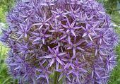 Puzzle gratuit ail en fleur