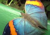 papillon-4_jpg animaux