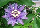 Puzzles passiflora-fleur de la passion