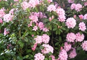 Puzzle rhododendron