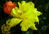 jonquille, tulipe et primevère