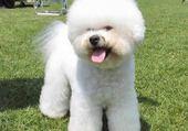 Puzzle chien caniche blanc