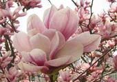 Jeux de puzzle : magnolia