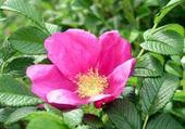 la rose églantine