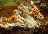Puzzle Jeux de puzzle : tigre