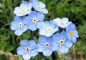 Puzzle fleurs bleues