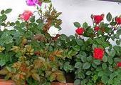 Puzzle gratuit les roses de mon rosier