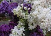 Puzzles lilas