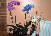 Puzzle gratuit Orchidées