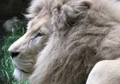 Puzzle Puzzle LION