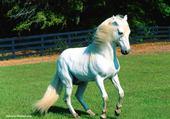 Puzzle Un cheval blanc