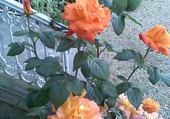 Puzzle gratuit jolies roses