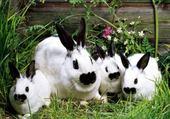 Puzzle Les lapins